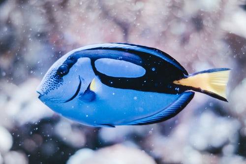 Revathi Fish Image