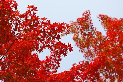 Reddish Uttara Phaguni image