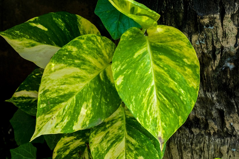 Money Plant (vastu compliant indoor plants)