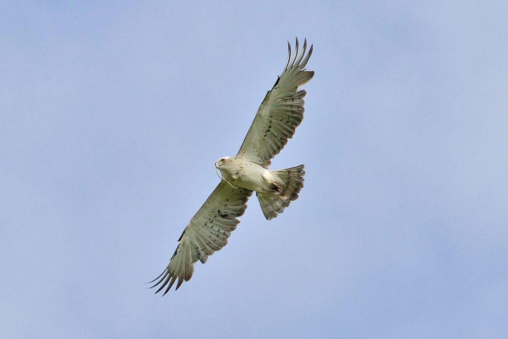 Magha Nakshatra Symbol: The Eagle